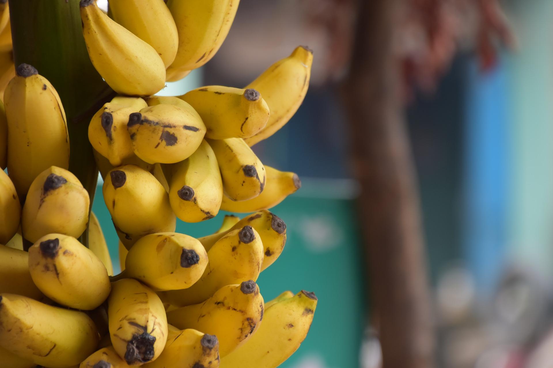 バナナ オリゴ糖