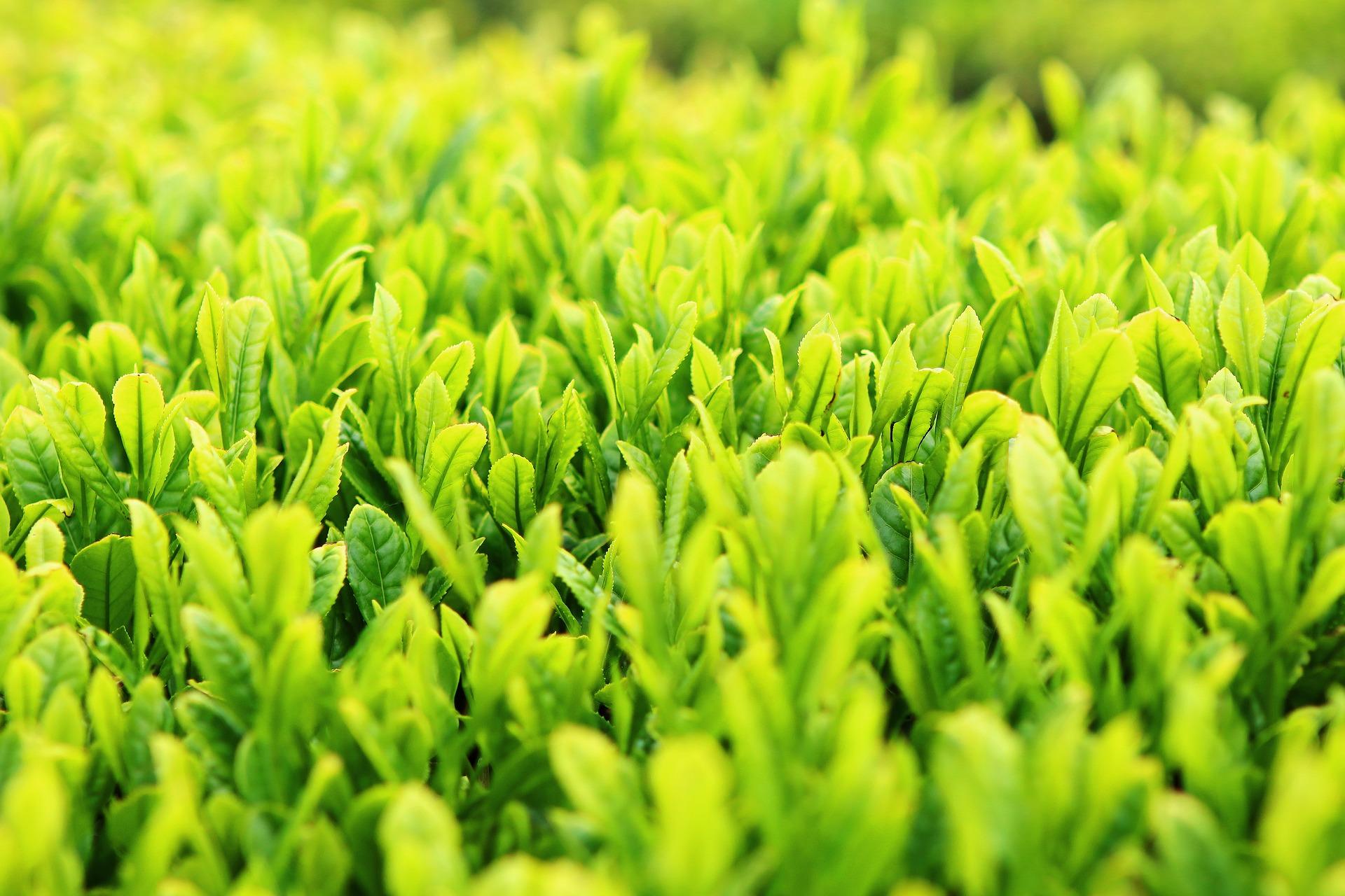 チャノキの葉