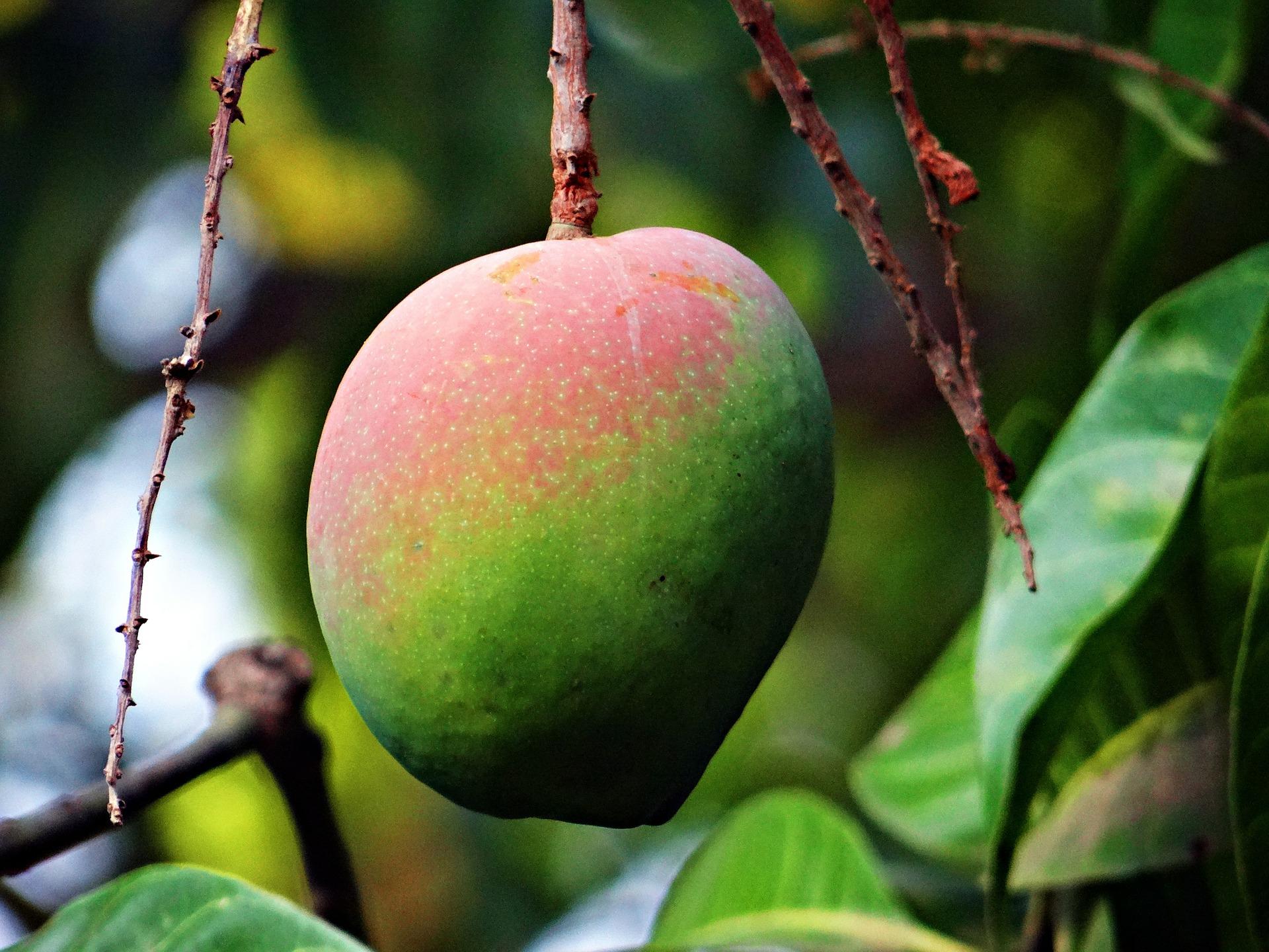 マンゴ 青い実 ビタミンC